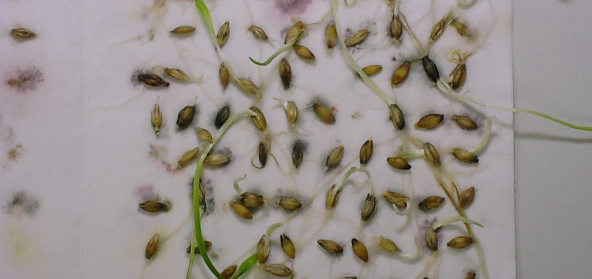 Image: Seed Dormancy in Barley